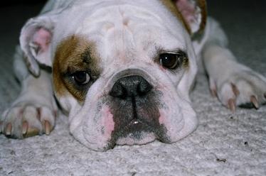 Dog Lying on Carpet